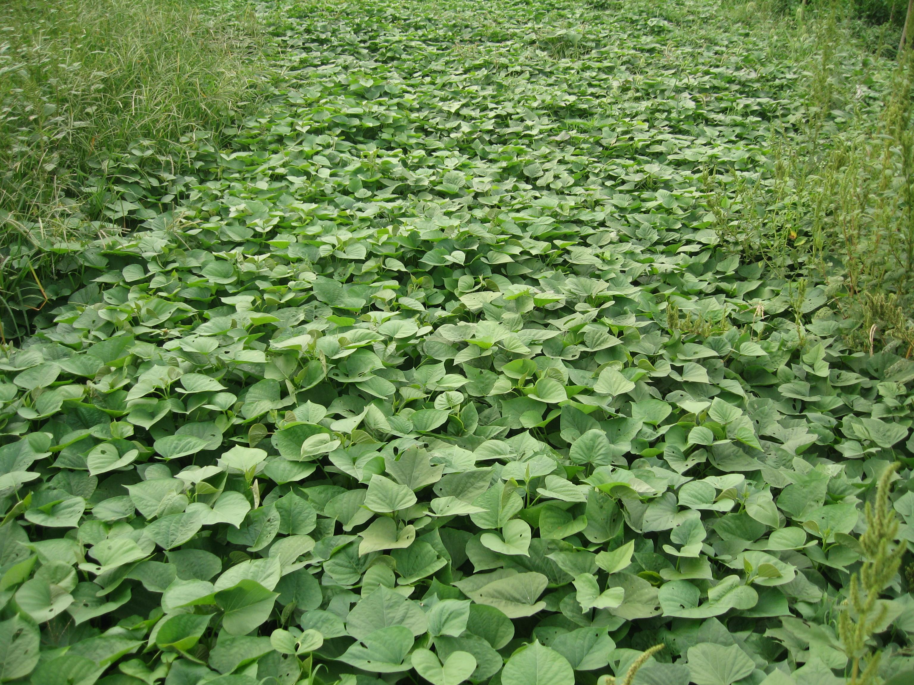 soil temperatures | Sustainable Market Farming Beauregard Sweet Potatoes