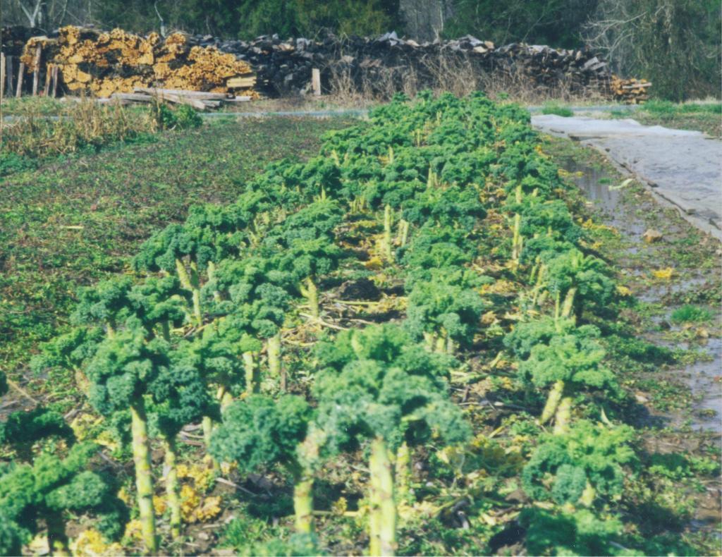 Overwintered Vates kale.Photo credit Twin Oaks Community