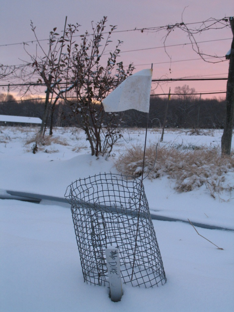 Young blueberry bush in snow.Photo credit Bridget Aleshire