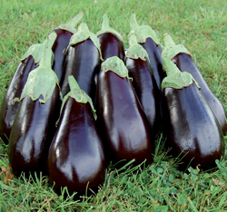 Florida High Bush eggplant from Seed Savers Exchange