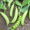 Sugar Flash Snap Peas from Osborne Seeds