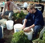 Washing and sorting carrots at Twin Oaks