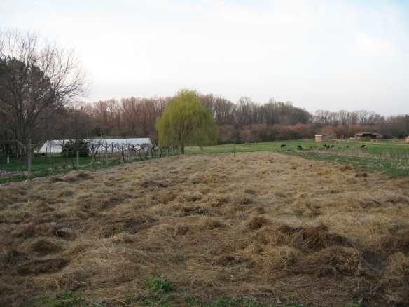 Our freshly mulched asparagus patch.Photo Kathryn Simmons