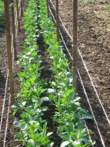 Favas, spring sown, good germ