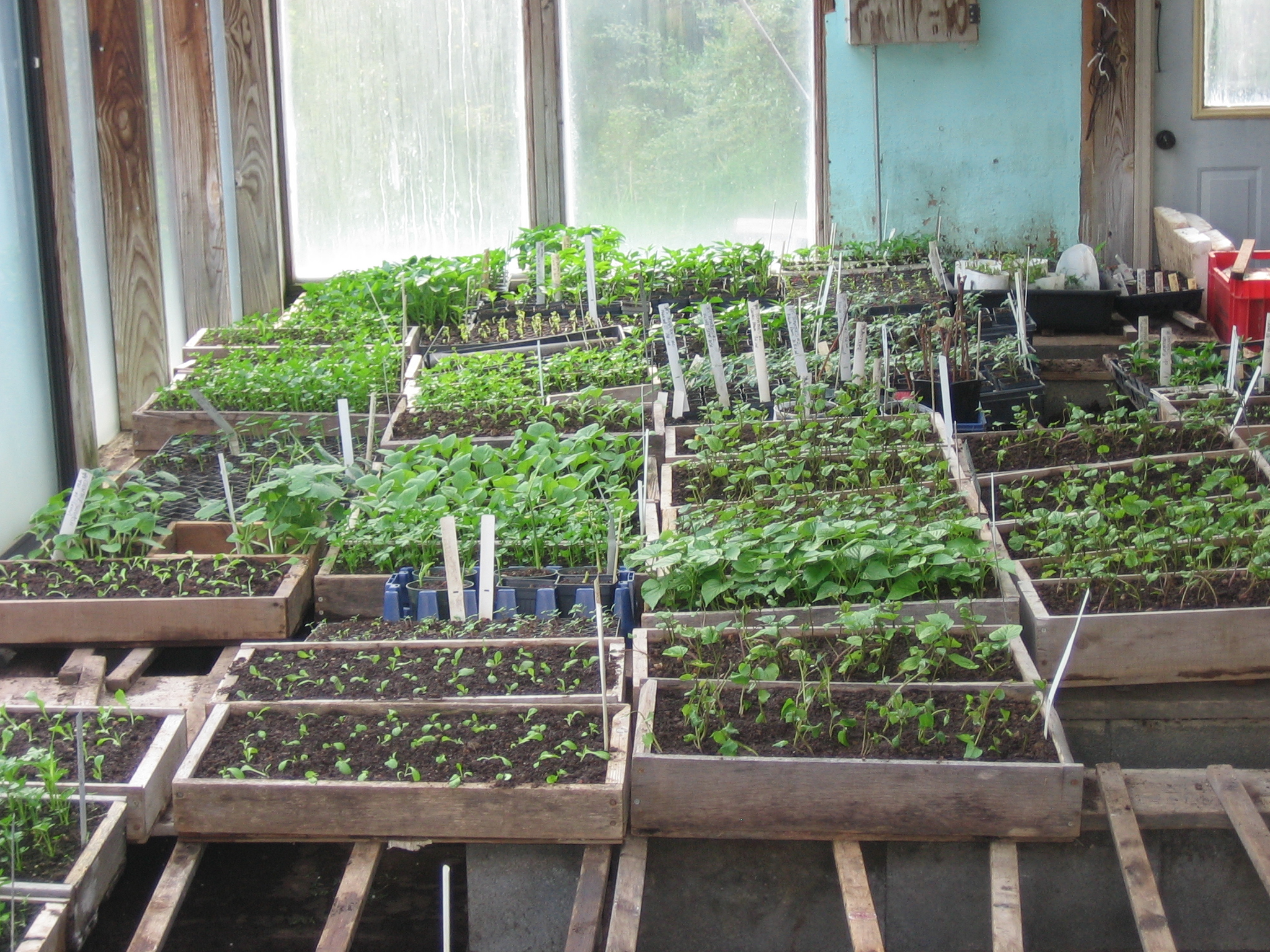 Greenhouse Interior With Early Spring Seedling Flats.Photo Kathryn Simmons
