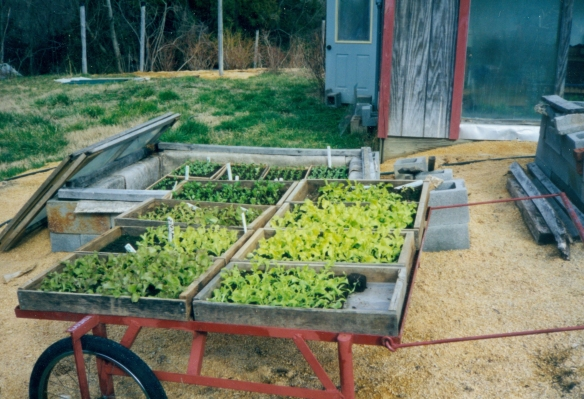 One year we tried soil blocks for early lettuce transplants, shown here on our custom-made cart