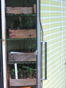 Growing sweet potato slips in a germinating cabinet. Credit Kathryn Simmons