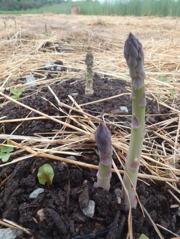 Asparagus in early April. Credit Wren Vi