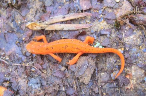 Ezra's salamander