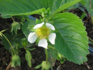 Healthy unfrosted strawberry flower. Credit Kathryn Simmons