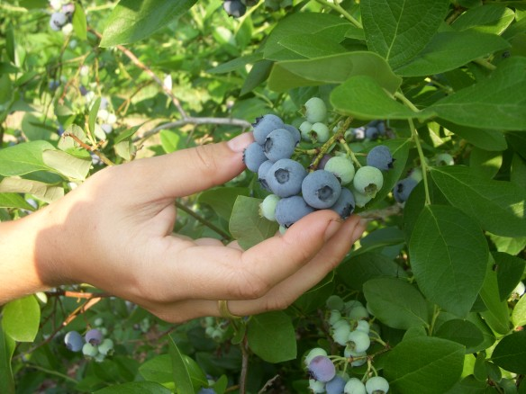 Admiring a cluster of blueberries. Credit Marilyn Rayne Squier