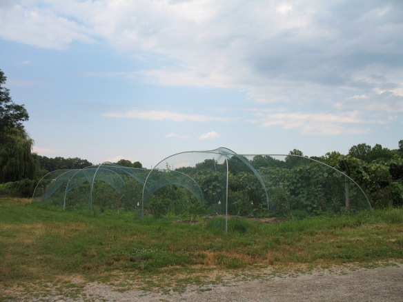 Our new blueberry netting on its hooped frames, Credit Bridget Aleshire