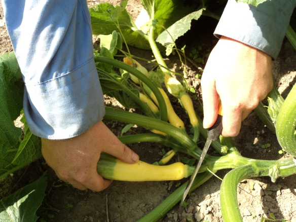 Cutting Zephyr yellow summer squash. Credit Brittany Lewis