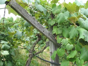 Our Concord grapes in late May. Credit Bridget Aleshire