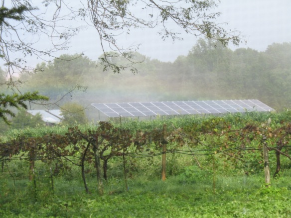 Grapevines and Solar Panels. Credit Bridget Aleshire