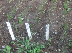 This is how we usually sow our leek seedlings in an outdoor nursery bed. Credit Kathryn Simmons