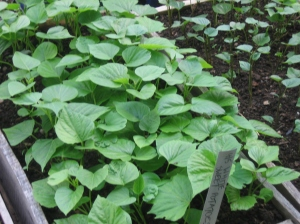Flat of home-grown sweet potato slips. Credit Kathryn Simmons