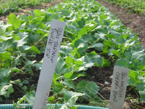 Turnips interplanted with radishes - two spring crops from one bed. Credit Kathryn Simmons