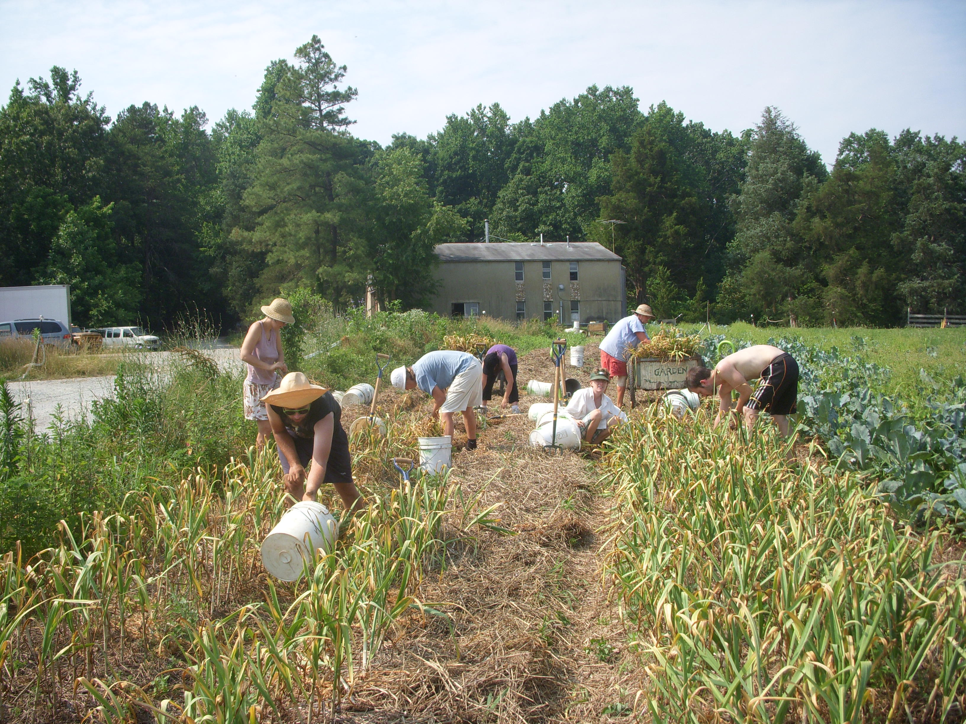 The crew harvesting garlic.  Credit Marilyn Rayne Squier