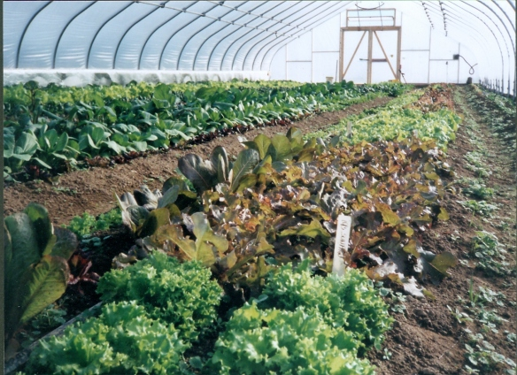 The hoophouse winter crops are an important part of feeding ourselves year-round