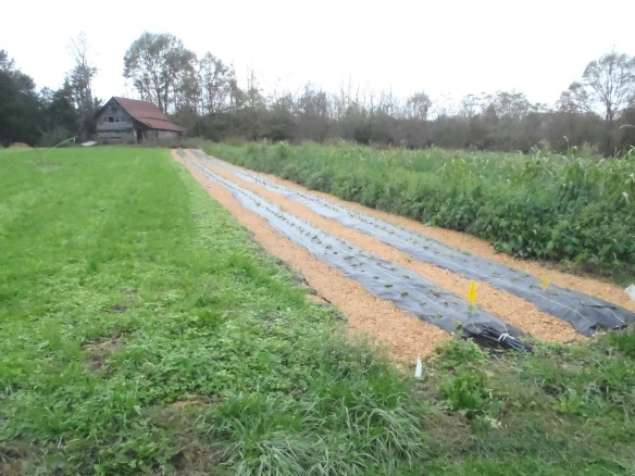 Our new strawberry bed, using landscape fabric.  Credit Wren Vile
