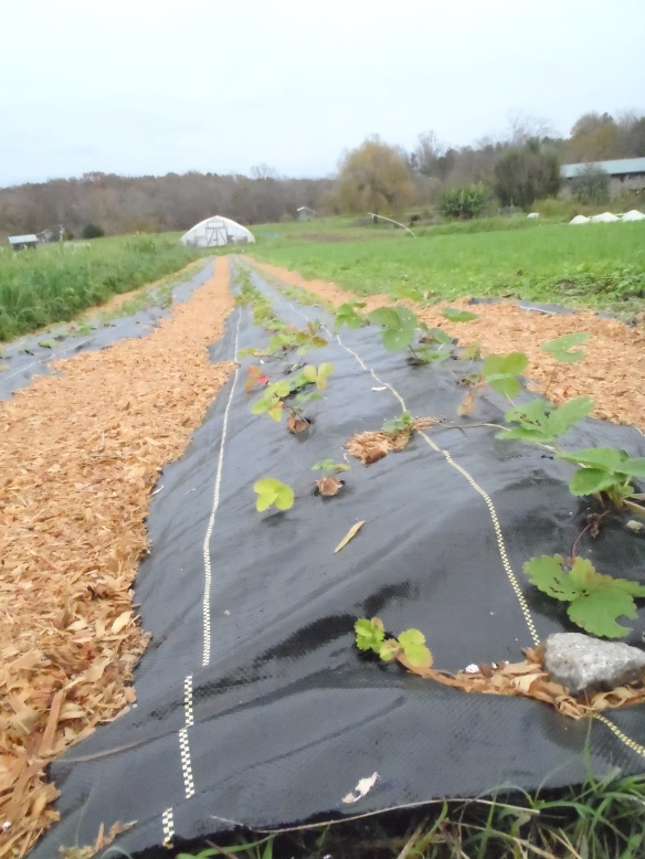 New strawberry plants popped into the holes in the landscape fabric. Credit Wren Vile