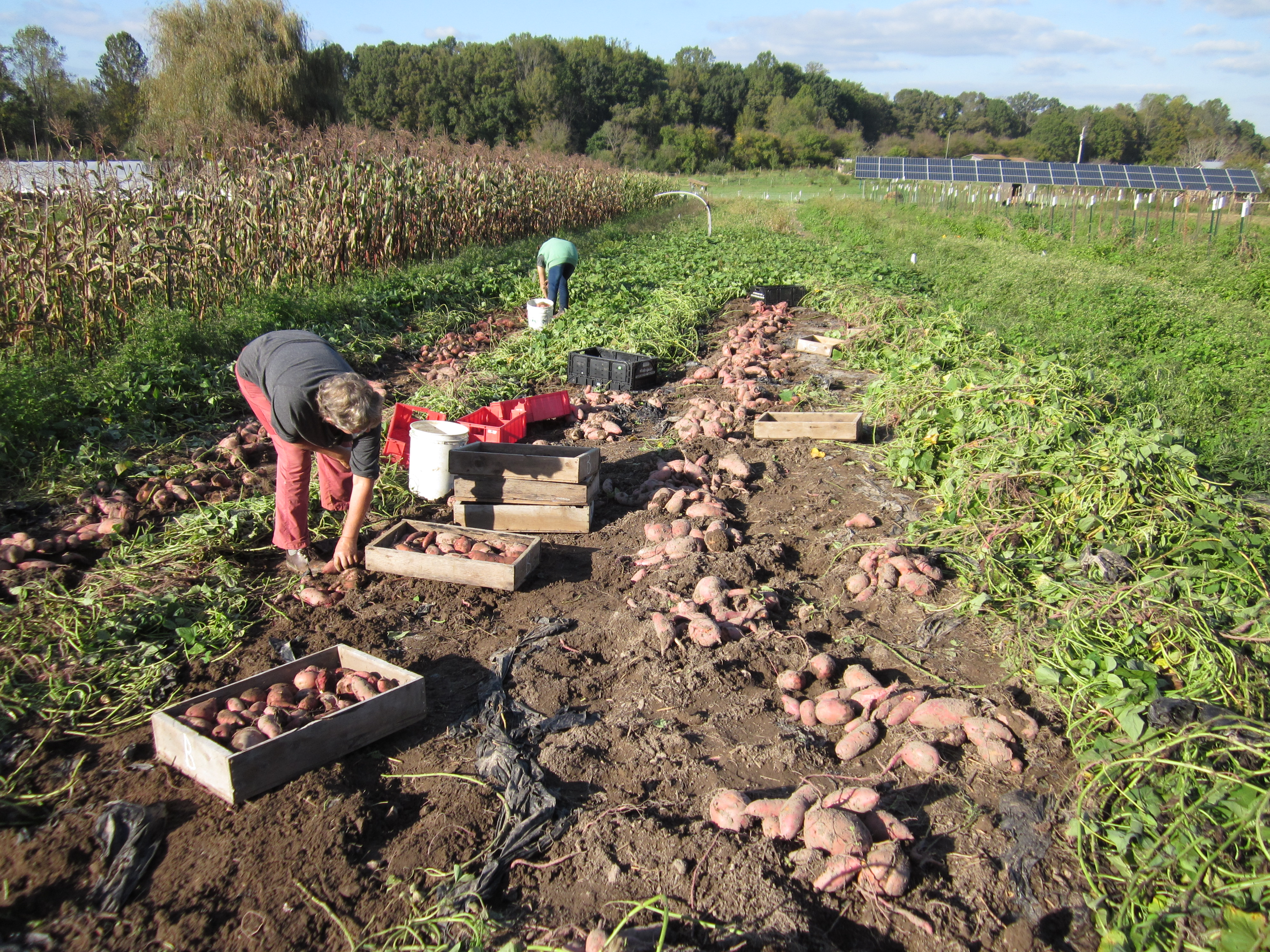 Sweet Potato Harvest - YouTube