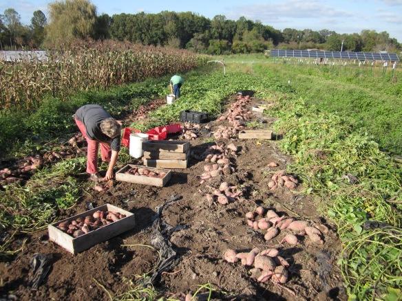 A bumper crop of sweet potatoes. Credit McCune Porter