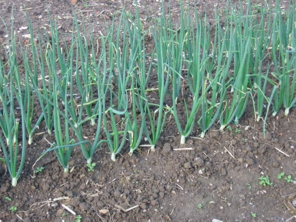 A bed of young onions. Credit Kathryn Simmons