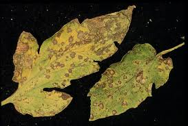 Septoria Leaf Spot of tomato. Photo University of Minnesota Extension Service