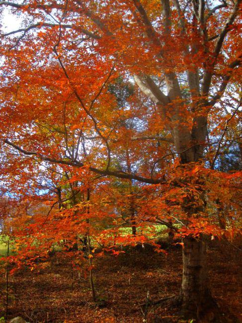 Beech tree in November foliage, Credit Ezra Freeman