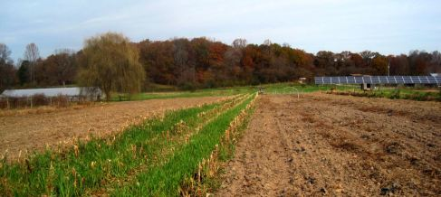 Late corn undersown with oats, noew mowed high, and the sweet potato patch now sown in winter wheat and crimson clover. Credit Ezra Freeman