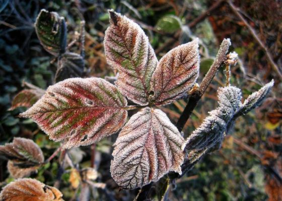 Blackberry leaf with frost. Credit Ezra Freeman