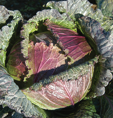 Deadon cabbage Credit Johnnys Selected Seeds