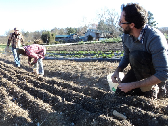 Garlic planting in November. Credit Brittany Lewis